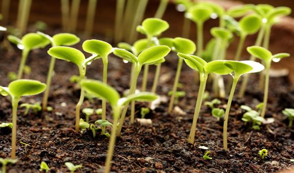 Как определить сроки посева семян на рассаду?