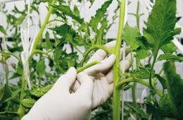 удаление листьев у помидоров