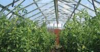 Выращивание помидоров из рассады