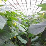 Как вырастить огурцы в теплице из поликарбоната