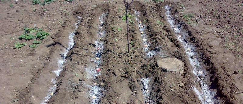 рядки для посадки гладиолусов