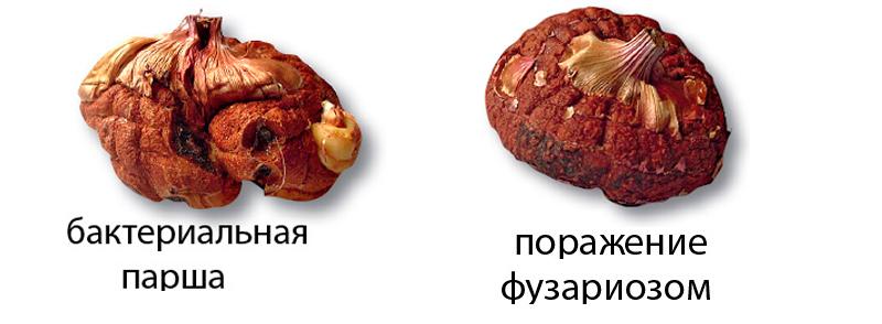 болезни гладиолуса